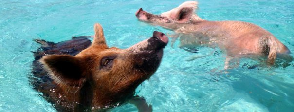 pigs-can-swim