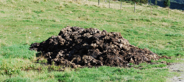 cowdung